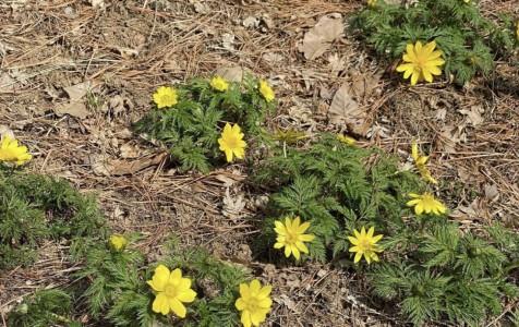 광릉추모공원에 자란 복수초